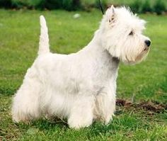 West Highland White Terriers - Full of Confidence & Spirit