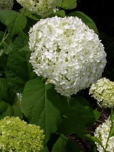 'Annabelle' smooth hydrangea has won numerous awards for its very showy, huge (up to 1') snowball flowers, which appear from June into September.  It grows 5' tall by 5' wide in part to full shade (full sun is not recommended).  It is supposed to be deer resistant for a hydrangea.  A gentle pruning in late spring produces optimum growth.