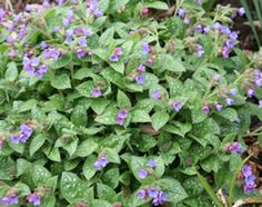 Pulmonaria  An excellent groundcover plant for moist, shady spots, it looks great at the front of the border or for edging paths.