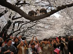 Cherry blossom viewers take pictures of two cats in a tree at Tokyo's Ueno Park. (Have totally been to this park before.) #cats Natsuki Sakai / AFLO via Zuma Press