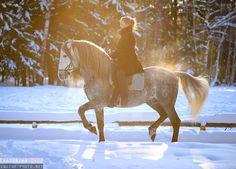 PRE Andalusian horse Бриосо (Brioso)