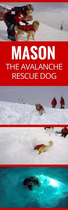 This dog is training to search and rescue victims buried in avalanches. Mason searches for the scent of people, sticks his nose in the snow and then digs until he can rescue!