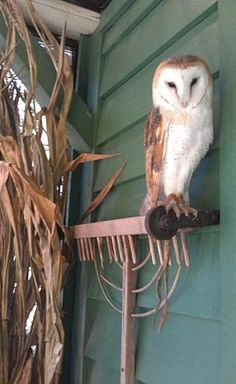 Barn Owl perched on a rake