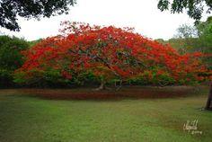 Flamboyant/Flame tree