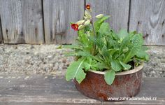Primrose in pot Window Sill, Garden Pots, Planter Pots, Garden Planters, Window Frames, Window Ledge