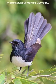 Willie or Willie Wagtail (Rhipidura leucophrys) - Australia, New Guinea, Solomon Islands, Bismarck Archipelago & eastern Indonesia Animals Of The World, Animals And Pets, Clay Animals, Beautiful Birds, Animals Beautiful, Australian Animals, Bird Art, Animal Photography, Pet Birds