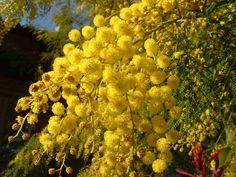 Mimosa en fleurs - arbres spécifiques à la Provence