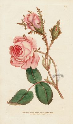Rosa muscosa. Moss Rose. Prints from the original 1st edition. This was the heyday of Curtis Botanical Magazine, when William Curtis himself was the guiding light and his band of buddies were the illustrators. As it was a new enterprise, following the Flora Londinensis, which had not been a commercial success, it was not printed in huge numbers. Consequently, these true first editions are hard to find, with the later reprinting being more common. #panteek #rose #flower #botanical