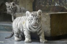 Eight week old white tiger cubs.