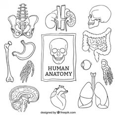 Discover thousands of free-copyright vectors on Freepik Human Anatomy Art, Anatomy Drawing, Bullet Journal Writing, Bullet Journal Ideas Pages, Science Art, Science For Kids, Biology Drawing, Arte Com Grey's Anatomy, Whatsapp Logo