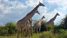 La magia de la vida salvaje en un safari en Botsuana [FOTOS] Maravilloso escenario...