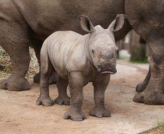 Join Twitterstorm by tweeting #iam4rhinos. 1m tweets for world rhino day 22/9 @WWFSouthAfrica http://iam4rhinos.com/