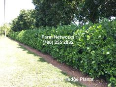 Florida Clusia Hedge Clusia, Camper Ideas, Front Yard Landscaping, Hedges, Pitch, Porches, Sidewalk, Florida, Trees