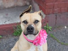 """FRENCHIE - A1073194 - - Brooklyn  TO BE DESTROYED 05/20/16 The word most people will come away from FRENCHIE's biography with, is the word """"friendly."""" Indeed, this buff-colored gal earned a rockstar AVERAGE rating from the shelter, and pretty much every aspect of her ACC biography paints a picture of an optimistic, happy-go-lucky pup who wandered into harm's way when she wandered into the shelter system on May 10th. It's incredible to think tha"""