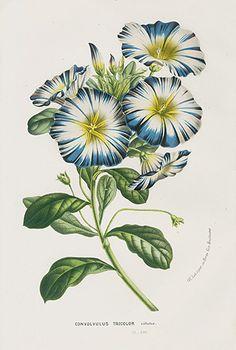 Vintage Flower Prints from Van Houtte 1845