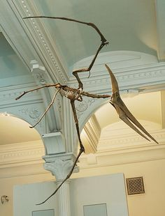 Mounted composite cast of Pteranodon longiceps at the American Museum of Natural History, New York.