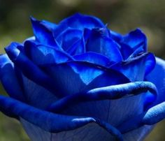 What a beautiful blue rose.   Name: Applause