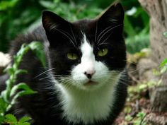 black and white cats with green eyes - Google Search