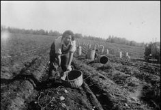 Nora Estabrook picking potatoes in Houlton, Maine - Maliseet - circa 1950