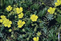 "Spring Cinquefoil [Potentilla tabernaemontanii] This tough and persistent plant has a dainty appearance. A tufted creeper, this plant bears clusters of butter-yellow flowers in spring and summer. Does well in most gardens and will smother out weeds effectively once established. Makes a good lawn substitute in areas of no-traffic. A fast grower, it is well used as a cover for bulbs. Little to moderate water is required. 2-6""h x 1-2'w"