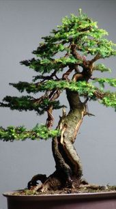 How For Making Your Landscape Search Excellent Picea Abies Bonsai Bonsai Tree Types, Indoor Bonsai Tree, Bonsai Plants, Bonsai Garden, Garden Trees, Bonsai Pruning, Bonsai Forest, Succulents Garden, Air Plants