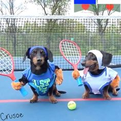 Just some doggos playing tennis Credit: Crusoe the Celebrity Dachshund