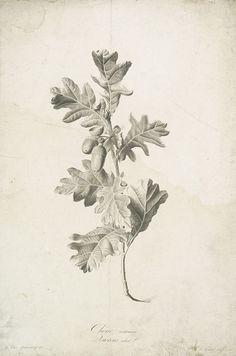 Quercus robur. Spaendonck, Van. G. - Chêne commun., c. 1800.