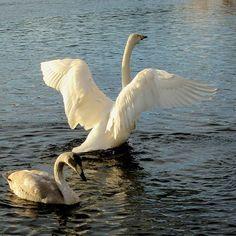 #laulujoutsen #whooperswan #bestbirdshots #ig_world_photo👑 #igworldglobal #ig_myshots #loves_finland #igscandinavia #tv_aqua #thebestoffinland #finland_photolovers #fingerprintofgod #world_beautiful_photos #natura_love_ #naturelovers #exceptional_pictures #allbeauty_addiction #fiftyshades_of_nature #kings_birds #beautyoffinland #show_us_nature #pocket_birds #photoarena_nature #nature_worldwide_marvels #visitingfinland #total_finland #total_rivers #loves_united_finland #total_mywhite…