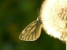 green-veined white PD