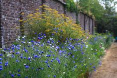 cornflowers and dill in the walled garden, port eliot cornwall