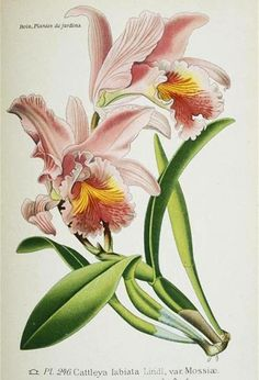 Cattleya labiata Lindl. var. Massiae, in Desiré Bois, Atlante delle piante da giardino e da appartamento, 1896, Parigi, Museo di Storia Naturale, Biblioteca