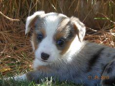 Corgi Puppies. Want.