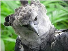 See related links to what you are looking for. Rare Animals, Jungle Animals, Animals And Pets, Ecuador, South America Animals, Harpy Eagle, Animal Activities, Animal Sketches, Animal Wallpaper