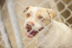URGENT! This beauty has until 7PM Tuesday 4/29 before she will be KILLED by animal control. She just had puppies and then was thrown out. Someone adopt her and spoil her! OWNER SURRENDER & Pregnant Staffordshire Terrier female 3-5 years old  Kennel A30. Only $51 to adopt and save a life. Fosters welcome too! Odessa TX.  https://www.facebook.com/speakingupforthosewhocant/photos/a.248402621850650.69312.248355401855372/763562700334637/?type=1&theater