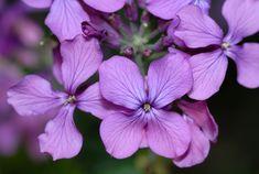 ¿Qué cuidados necesita la Lunaria annua o Planta de la plata? - http://www.jardineriaon.com/lunaria_annua.html #plantas