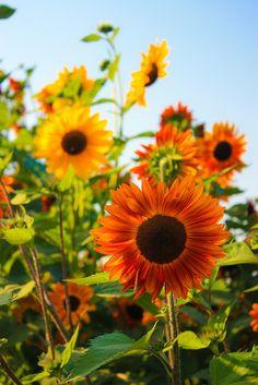 Autumn Harvest Sunflowers by JC Rocks