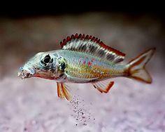 Callochromis Cichlid,Callochromis pleurospilus