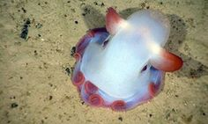 Living dumbo octopus Grimpoteuthis sp. with fins as the would be elephant ears…