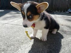 Do you love cute animals? Dig into this heart-melting selection of adorable little beings, cute puppy pictures and all kind of fluffy animals. Cute Corgi Puppy, Welsh Corgi Puppies, Cute Puppies, Dogs And Puppies, Baby Corgi, Cutest Puppy, Baby Puppies, Cute Baby Animals, Animals And Pets