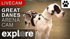 Video Great Danes Arena Cam - Service Dog Project powered by EXPLORE.org