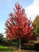 Résultats de recherche d'images pour «sorbus aucuparia rossica» Plants, Image, Plant, Planets