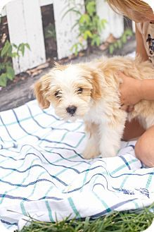 I'm being cared for by: 1 love dog rescue  Help me get seen & adopted!       Facts about Foxy Breed: Havanese/Maltese Mix Color: Tan/Yellow/Fawn - With White Age: Puppy Size: Small 25 lbs (11 kg) or less Sex: Female