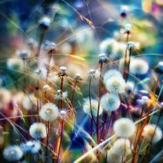 ...dandelion rainbow... Thought about adding this to my Photography Board, but decided that it is DEFINITELY Art That Makes My Heart Sing !