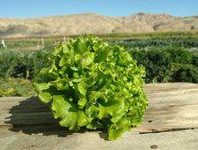 Lettuce: Mixed (/item)