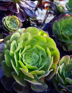 Big drama, low maintenance. Lime green with dipped burgundy star shaped aeonium. Photo: Luca Trovato