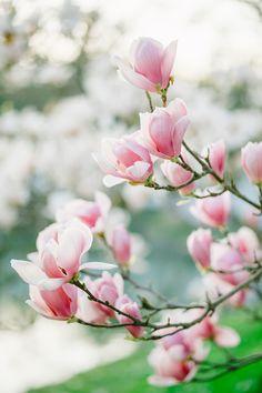 Буквально на днях я вернулась из зеленого города Сочи где во всю цветет магнолия! Огромные ароматные соцветия сводят с ума, от них невозможно оторвать взгляд... И я с огромным удовольствием хочуподелиться с вами этой красотой :*