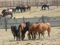 Currently, there are about 46,000 Mustangs and wild burros living in holding facilities.  They are fed and cared for while they live out some of there lives here and some live out their whole lives this way.  This is done in order to manage their population and achieve a natural balance on the range.  There are an estimated 67,000 wild horses roaming free on rangelands managed by the BLM in 10 Western states.