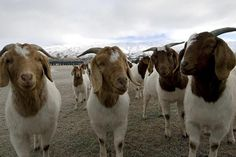 Get Started Raising Meat Goats: 5 Crucial Pointers Wondering whether raising meat goats is right for your small farm, homestead or hobby farm? Learn the basics of raising goats for meat. Raising Farm Animals, Raising Rabbits, Raising Goats, Cabras Boer, Keeping Goats, Female Goat, Show Goats, Goat Care, Boer Goats