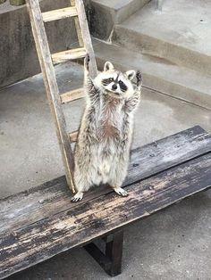 ara3 もっと見る Cute Funny Animals, Cute Baby Animals, Animals And Pets, Baby Raccoon, Racoon, Amazing Animal Pictures, Animal Crossing Villagers, Mundo Animal, Exotic Pets
