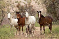 Photo by LuAnne Hedblom, Coons Bluff, Salt River, Arizona Salt River Wild Horses